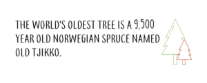 the worlds oldest tree